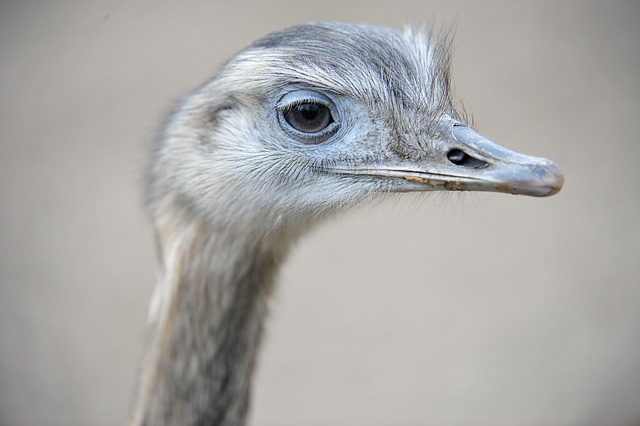 avestruz etimología